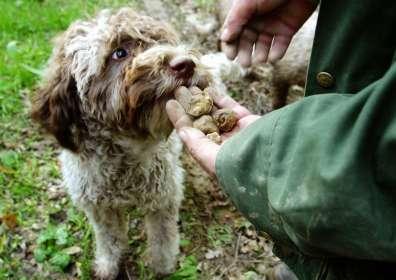 Quali sono i Migliori Cani da Tartufo? Scopriamo Insieme le Razze